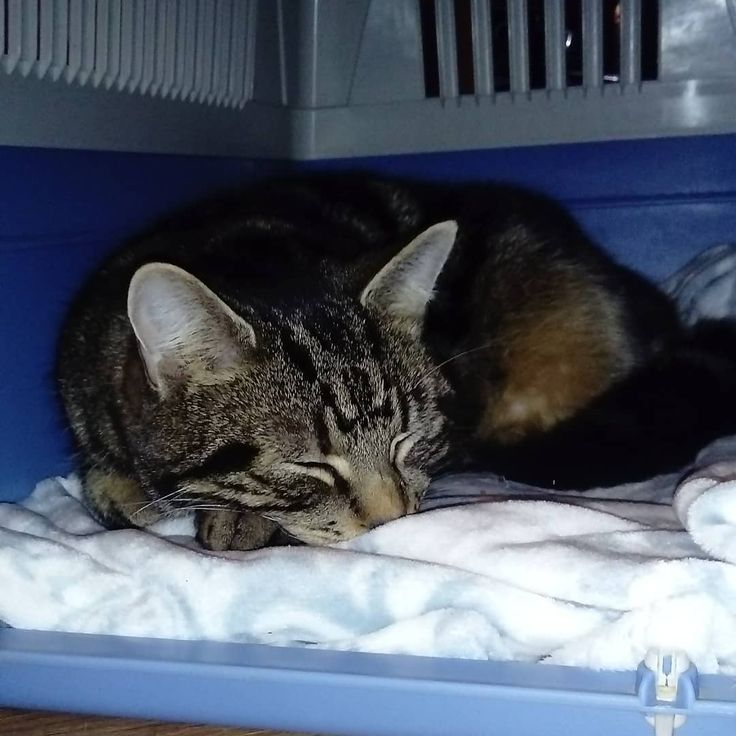 Little Cuddles the Wonder Cat is still under the weather and is off to the vets in the morning for some tests to figure out what is going on in his little body so I have his basket out ready. Just went looking for him and he's curled up inside snoozing. He is ready to go and must know he is going to get what he needs tomorrow to feel well again. #furbaby #catsofinstagram