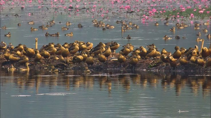 Jahangirnagar University Now Home to Winter Migratory Birds || Winter Migratory Birds at JU Jahangirnagar University Now Home to Winter Migratory Birds || Winter Migratory Birds at JU Every year with the arrival of winter migratory birds of various species throng some parts of Bangladesh. Jahangirnagar University Hakaluki Haor and Hyle Haor Baikka Beels Tangoar Haor Nijhum Dwip Chitagong Hill Tracts Mirpur Zoo Mirpur ceramic lake Netrokona Haor and many small as well as large lakes are some…