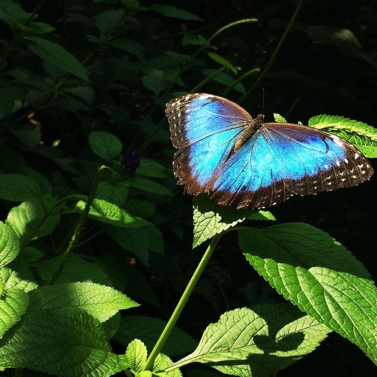 Mariposa morfo Azul Butterfly morpho blue