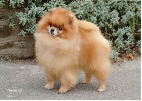 Mum loves showing her pomeranians