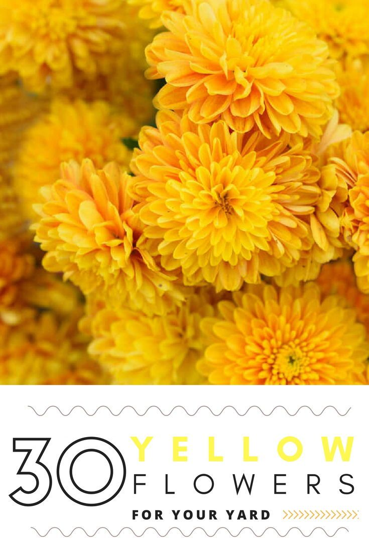 30 Types Of Yellow Flowers A To Z Photos And Info Yellow Flowers Flowers Yellow