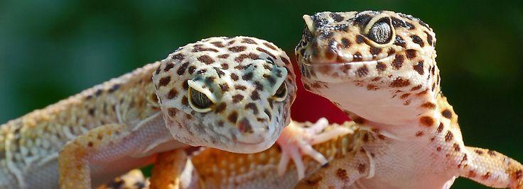 Leopard Gecko Care Sheet & Guide   PetSmart