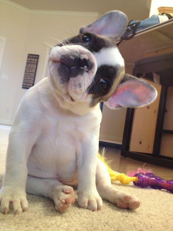 french bulldog head tilt