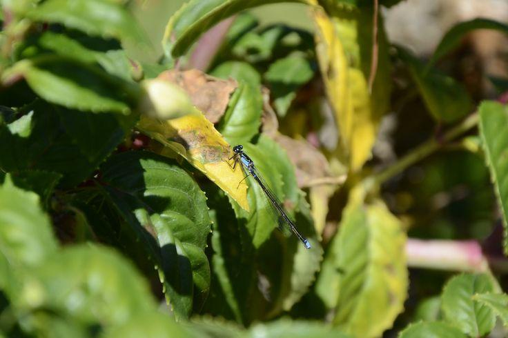 Caballito del diablo, Zygoptera, en Centinela, Puerto Octay.