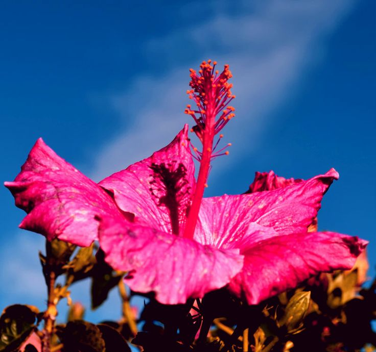 Pink hibiscus flower on a Ohiwa beach front garden