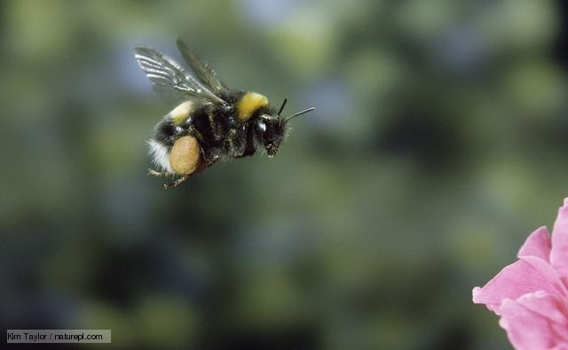 Bumble bee with full pollen sacs, in flight (www.bbc.co.uk/nature/life/Bumblebee)