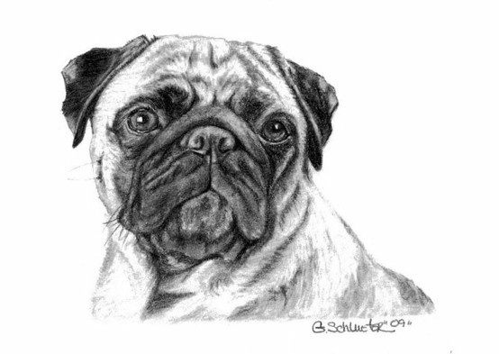 The Pug Sketch Small Breed Dog I Ve Sketched Pinterest
