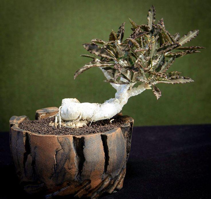 1032 best images about sukkulenten aus madagaskar on pinterest euphorbia milii cactus seeds. Black Bedroom Furniture Sets. Home Design Ideas