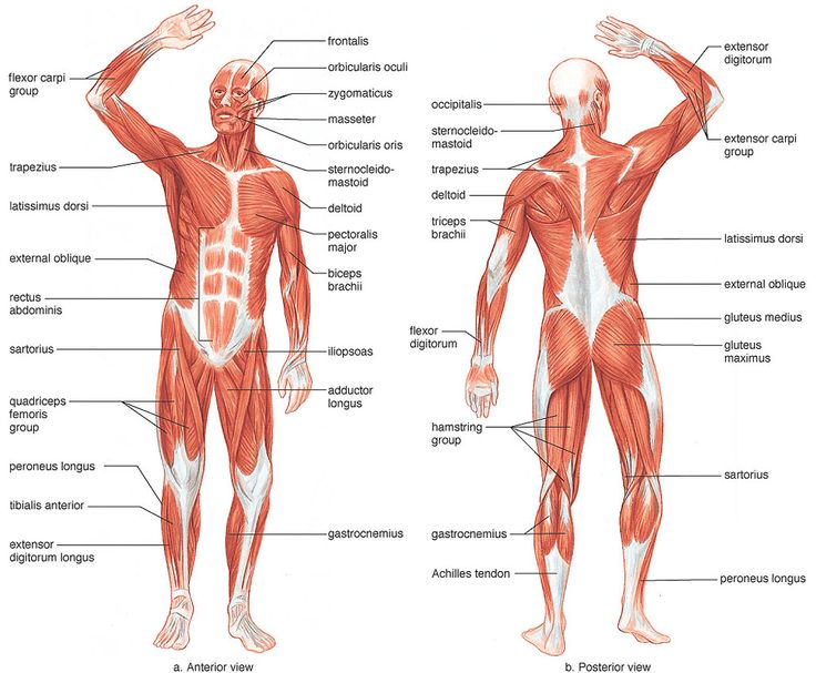 Muscular System.    Over 700 muscles move the skeleton and help it maintain positions.  As well, muscles protect soft tissues, control the entrances and exits of the digestive tract, and produce heat.