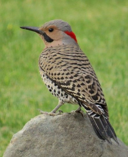 """Watching 2 this am """"anting"""" around on the ground... what a beautiful way to start the day.. Northern Flicker woodpecker"""