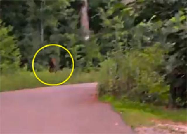 Are These Videos of Bigfoot Real?