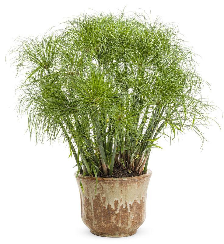 Graceful+Grasses®+Prince+Tut™+-+Dwarf+Egyptian+Papyrus+-+Cyperus+papyrus