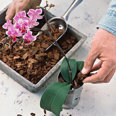Orchid care: Fill your container with Orchid Bark (a mix of bark and peat moss). Place an orchid in the vessel, about half filled with the mix. Top the container with more bark, making sure all leaves are above the top of the can to avoid rot. Place where the plant will get medium to bright light.