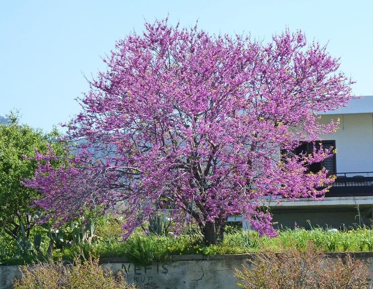 Judas Tree, Spring 2012, Lapta, North Cyprus