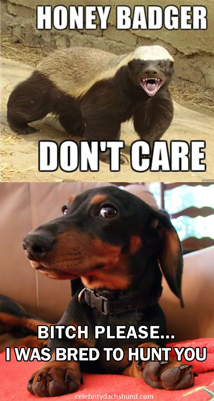 did not know this , wow  those badgers are fierce. I have a whole new respect for the breed It's funny because it's true #dachshund #doxie #badgerdog