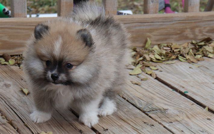 Download wallpapers Pomeranian Spitz, gray fluffy puppy, small dog, pets, puppies, 4k
