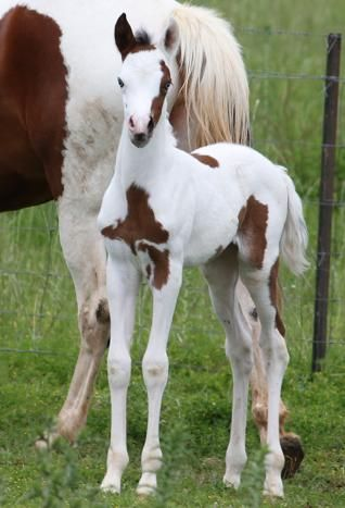 Ayishah Bay Tobero Filly with 2 blue eyes 50% Arabian,