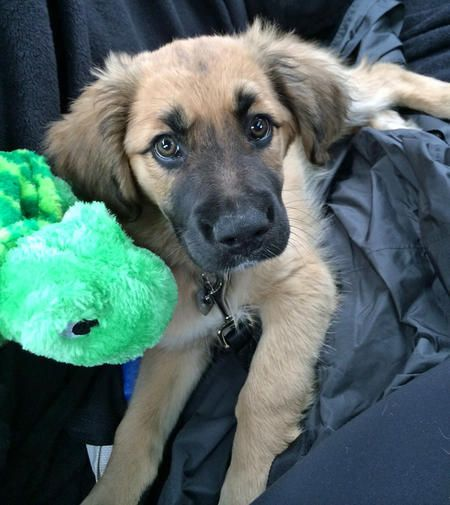 Turtle the Mixed Breed -- Puppy Breed: Boxer / German Shepherd Dog / Golden Retriever