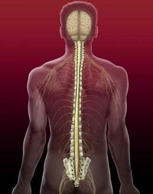 Generally, human spine is consist of cervical vertebra, thoracic vertebra, lumbar vertebra, sacral vertebrae and caudal vertebra. And each part divided into several parts as well. For example, cervical vertebra is divided into 8 parts and they're called C1 to C8 for short. Intervertebral disc, ligament and muscle are the connection between vertebras. Spinal cord are located in the central part of spine and covered by chine. When spinal cord get injured, the function of transport and receive…