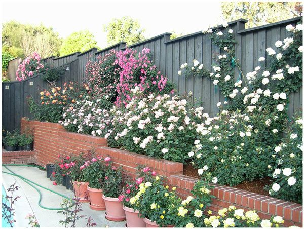 home rose garden of dr tommy cairns internationally renowned rose expert and exhibitor - Backyard Rose Garden