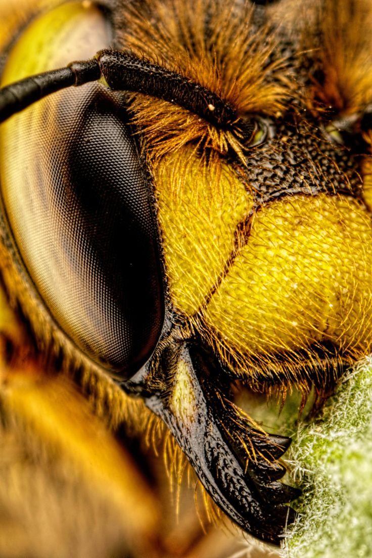 European Carder Bee III [4000x6000] [OC]