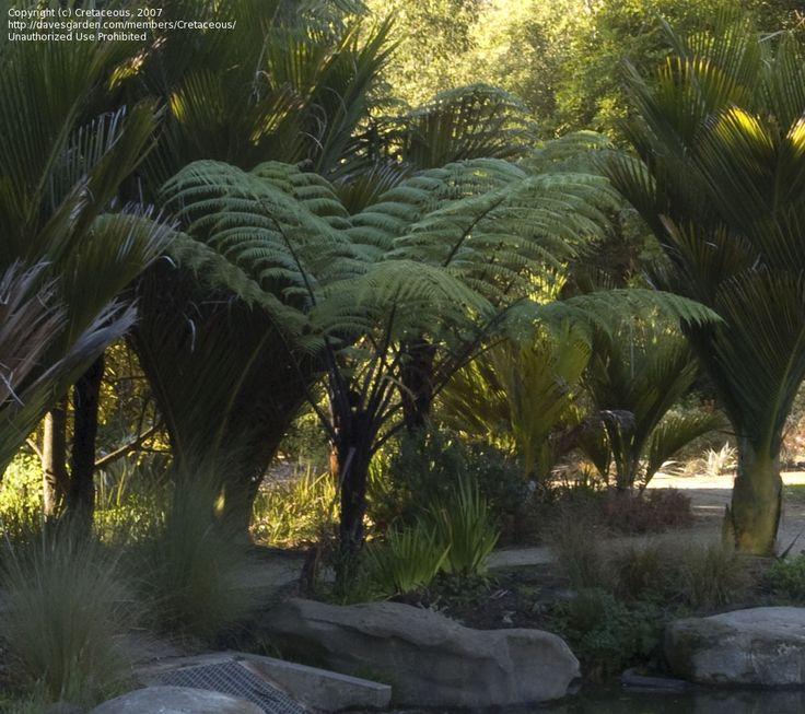Black Tree Fern, Korau, Mamaku, Sago Fern Cyathea medullaris