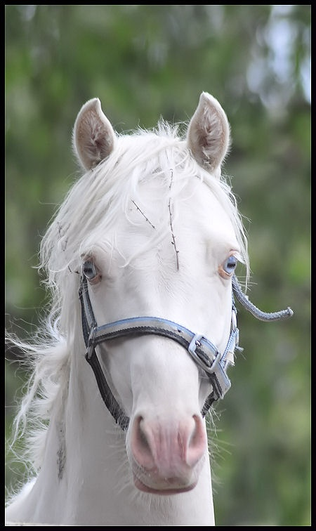 Thorwood Quicksilver, yearling riding pony colt.