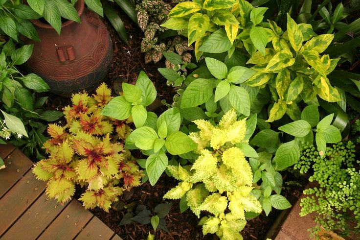 Temperate climate tropical garden | GardenDrum Tropical Breeze design Helen Curran Solenostemon (Coleus) cultivars