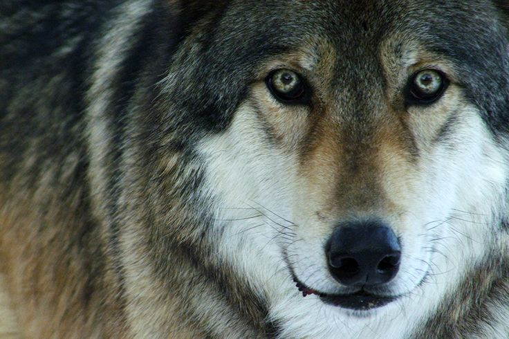 Expedition Wild: Wild Spirit Wolf Sanctuary, Foto del giorno - NatGeoFan