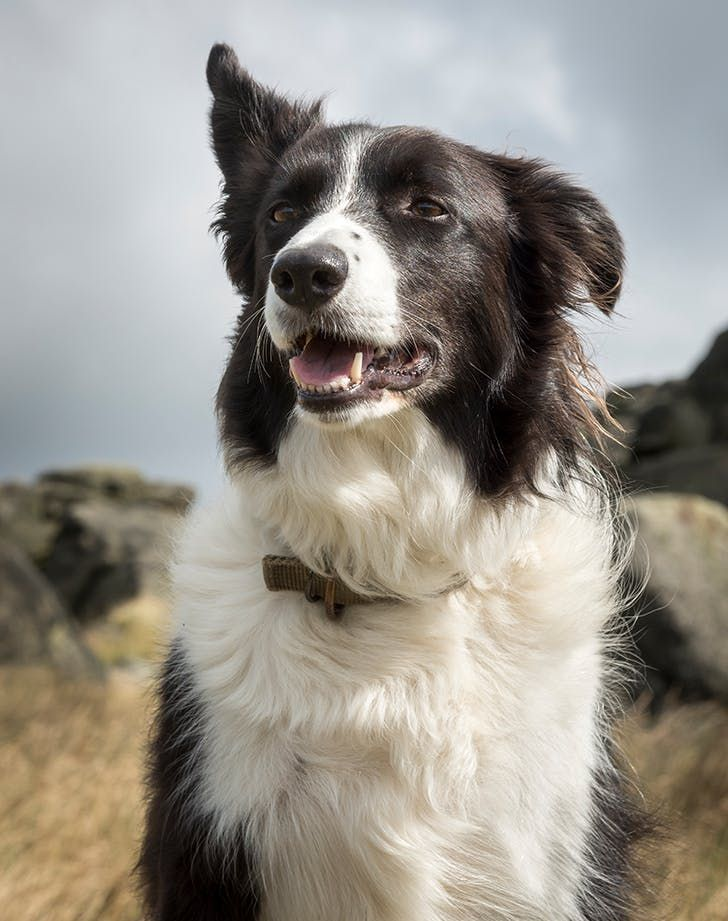 Border Collie On A Windy Day Dog Breeds Best Dog Breeds American Water Spaniel