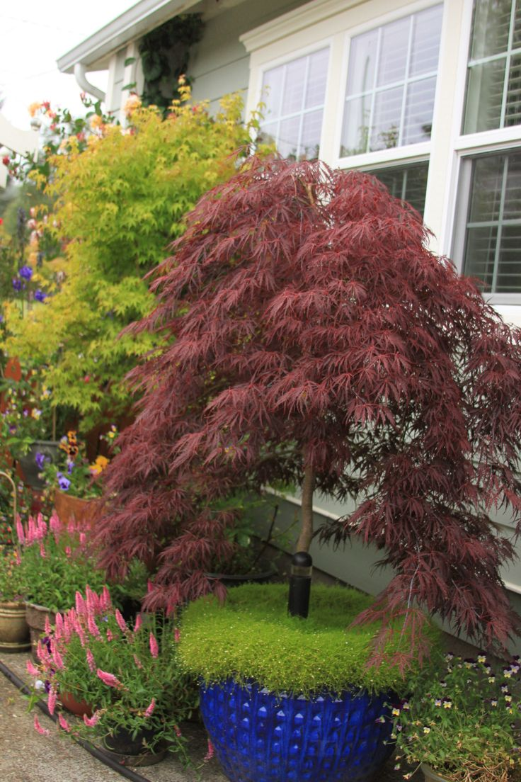 How to care for a fern leaf japanese maple - Scotch Moss At The Base Of My Potted Red Japanese Split Leaf Maple Keeps The