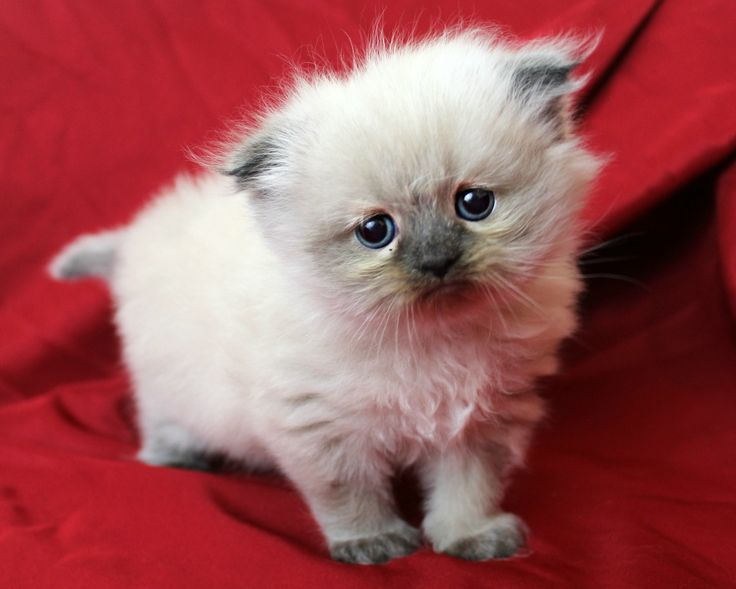 Himalayan kittens for sale georgia