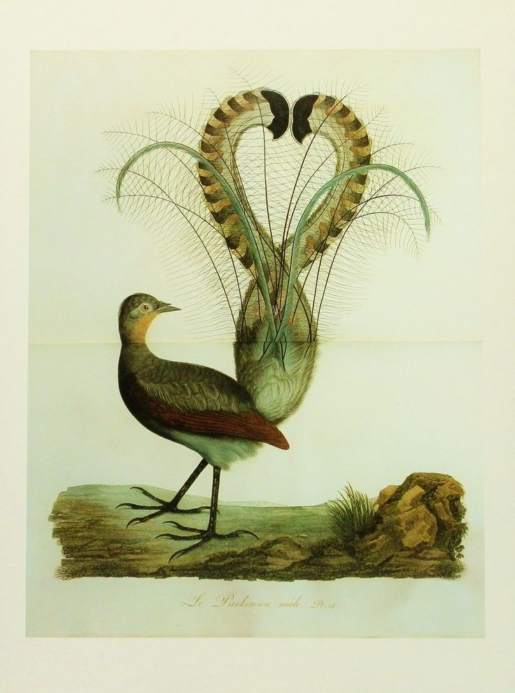 Vintage Bird Print, Lyre Bird