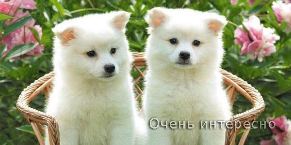 С 1603 г. в округе Акита для собачьих боев использовались Акита Матаги (собаки среднего размера для охоты на медведей). С 1868 г. Акита Матаги скрещивались с тоса-ину и мастифами, в результате чего размеры породы увеличились, но при этом исчезли черты шпицеобразного типа. В 1908 г. собачьи бои были запрещены, но тем не менее порода сохранилась и улучшилась, став японской породой крупных собак. В результате в 1931 г. девять выдающихся представителей породы были названы «Естественными…