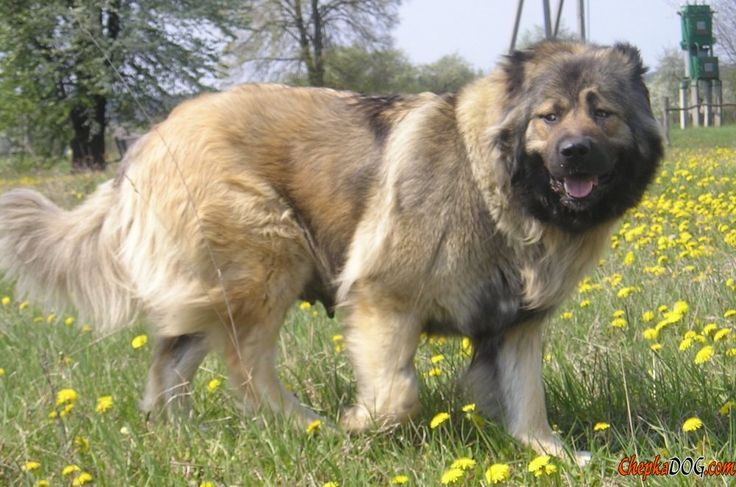 Foto poderosa valiente perro pastor caucásico
