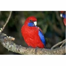 Crimson Rosella. You'll definitely see these little guys on our Oreillys, Tamborine Mt and Springbrook Tours! (T1, T3)
