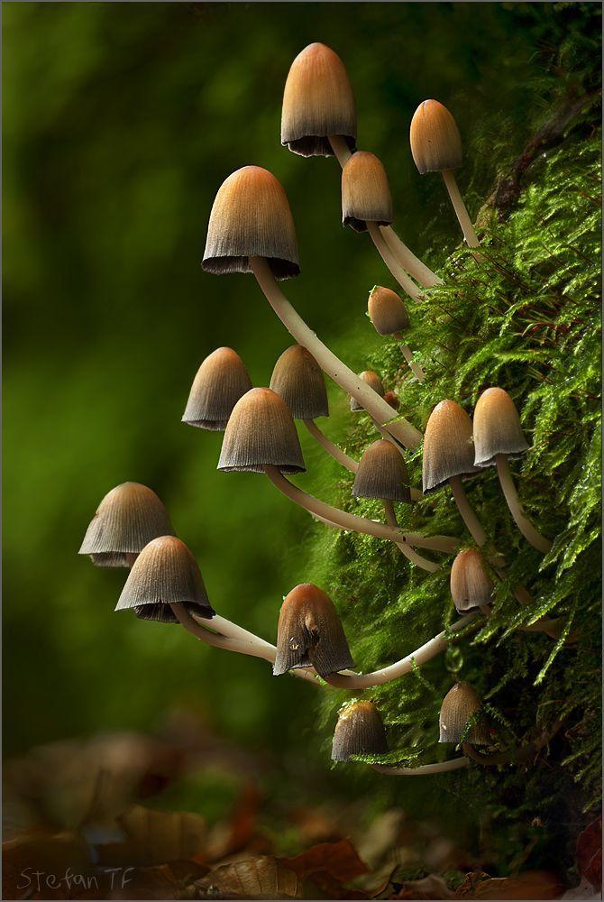Glistening Inkcap mushrooms (Coprinellus micaceus) ~ By Stefan Traumflieger