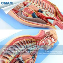 CMAM-BRAIN17 Human Sympathetic Nervous System Anatomical Model for Education //Price: $US $272.39 & FREE Shipping //