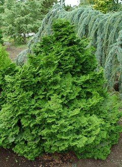 Dwarf Hinoki Cypress, 6 feet tall and 5 feet wide in 15 years.  Fairly shade tolerant.