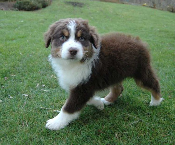 Best 25 Red Tri Australian Shepherd Ideas On Pinterest