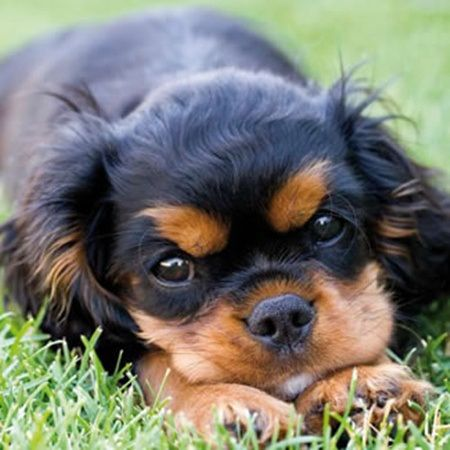 king charles cavalier- I had a beanie baby that looked exactly like this puppy!!
