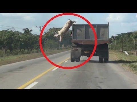 Pig Makes Dangerous & Daring Jump from Moving Truck [VIDEO]