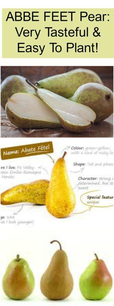 Abbé Fétel Pear: Very Tasteful & Easy To Plant! – Medi Idea