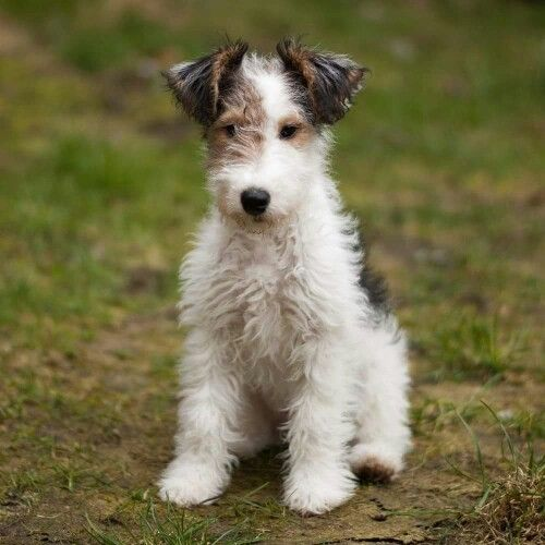 Adorable wire fox terrier babe