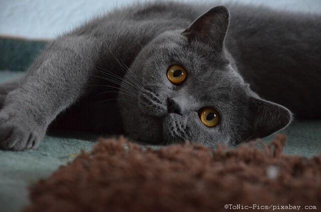 Hier erhalten Sie Informationen über die Herkunft, Rassebeschreibung und Steckbrief der beliebten Britisch Kurzhaar Katze.