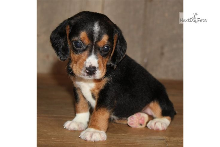 Monica Female Beagle For Sale In 2020 Beagles For Sale Beagle Dogs