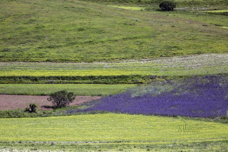 Castelluccio. Val Grande. Fioritura delle lenticchie. Umbria. Foto Massimo Lazzari srls - S.Martino Siccomario PV