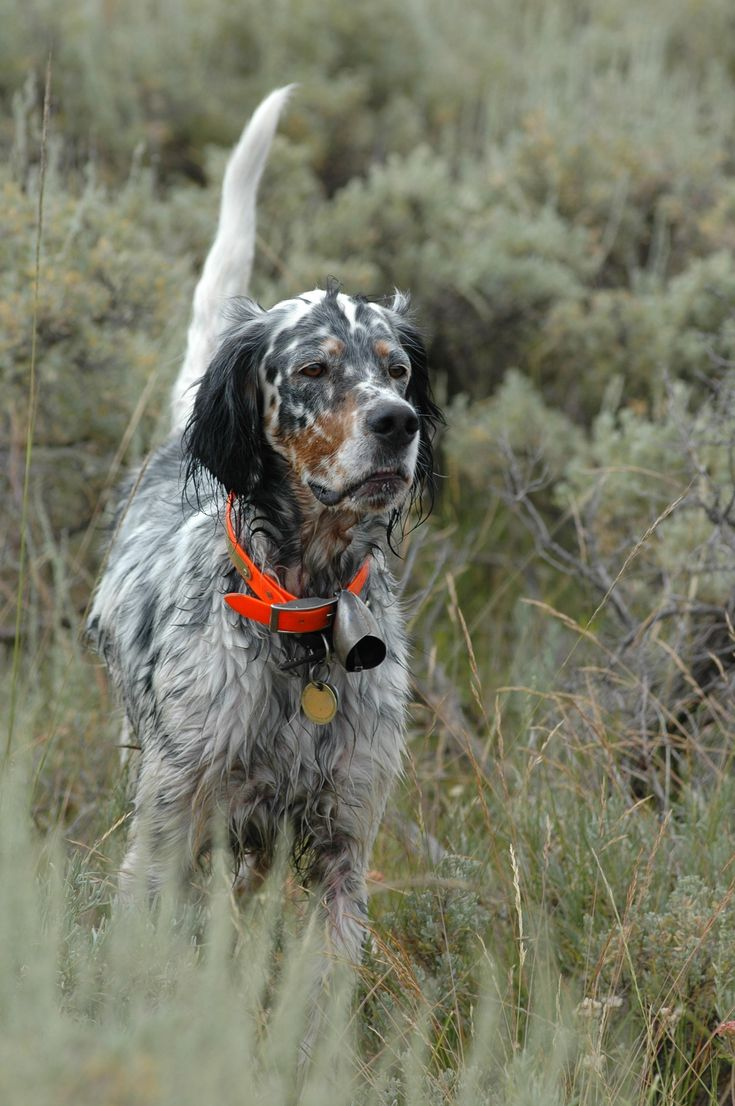 English Setter..what a real hunting dog. dixiepickersstore.com                                                                                                                                                      More