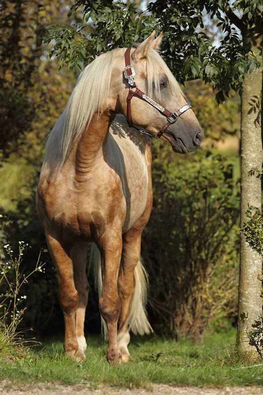 how to train a tennessee walking horse