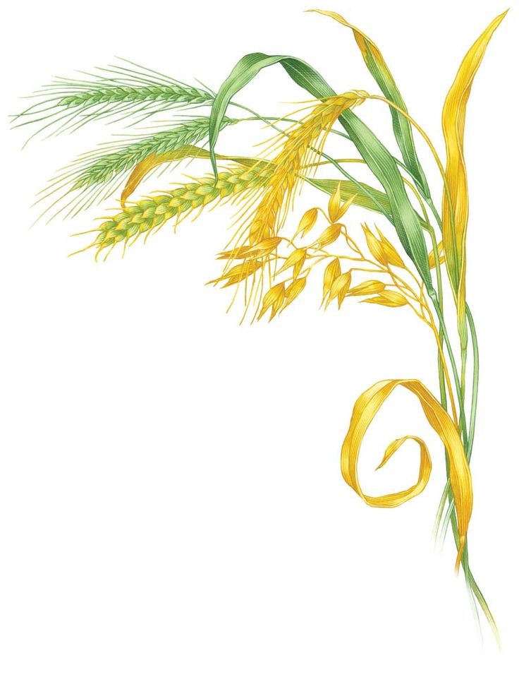 All About Growing Winter Grains   Grow Wheat, Rye, Oats And Barley To Build
